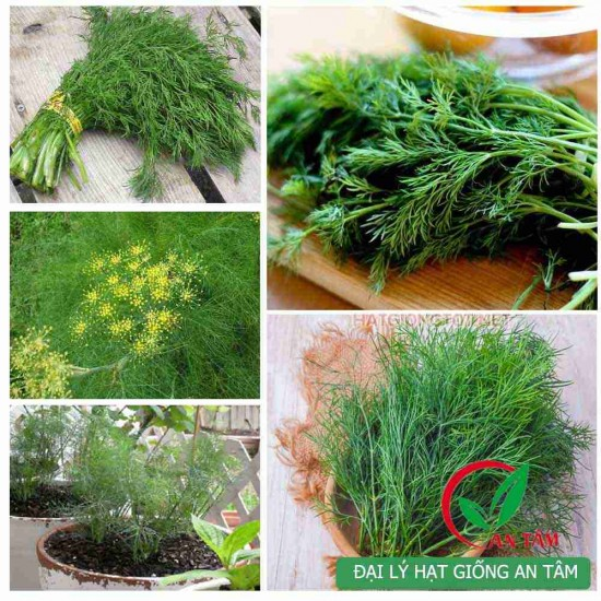 Hạt giống rau thì là bốn mùa