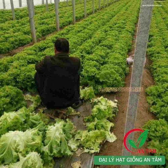 Hạt giống rau xà lách xoăn