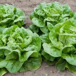 Hạt giống xà lách mỡ lá dày