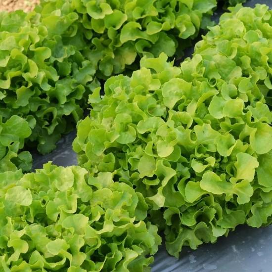 Hạt giống xà lách sồi xanh Okaleaf hữu cơ