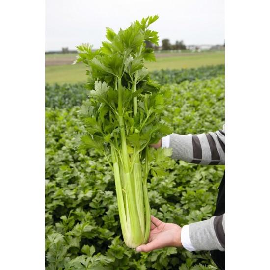 Hạt giống cần tây Đà Lạt(cần tây Mỹ) ép nước