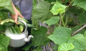 Mùa vụ trồng dưa chuột vào tháng mấy?