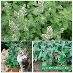 Hạt giống bạc hà mèo Catnip