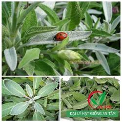 Hạt giống cây xô thơm (Sage)