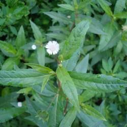 Hạt giống cây cỏ mực(nhọ nồi)