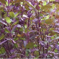 Hạt giống cây hương nhu tía