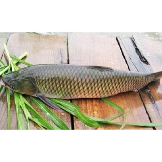 Hạt giống cỏ cho cá ăn