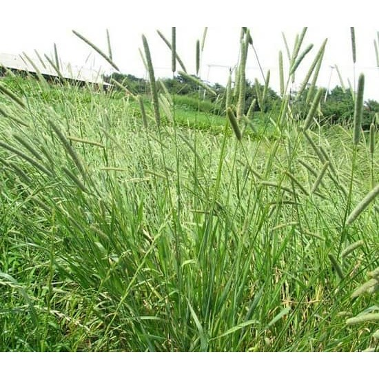 Hạt giống cỏ Timothy