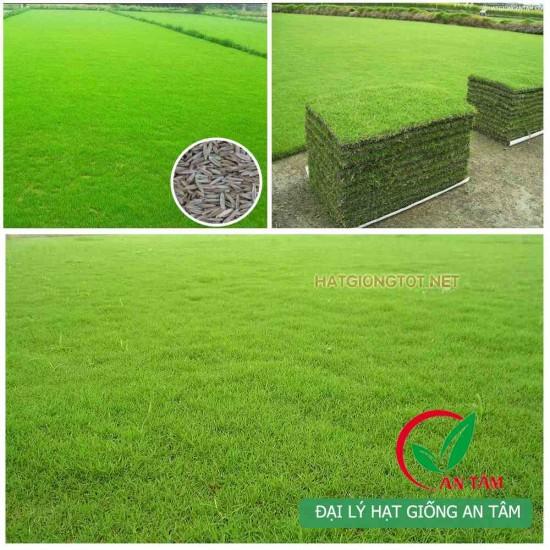 Hạt giống cỏ bermuda cỏ thảm