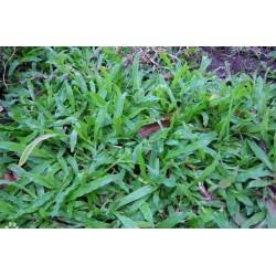 Hạt giống cỏ lá gừng