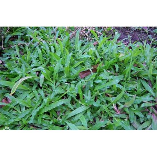 bán hạt giống cỏ lá gừng