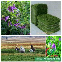 Hạt giống cỏ linh lăng Alfalfa