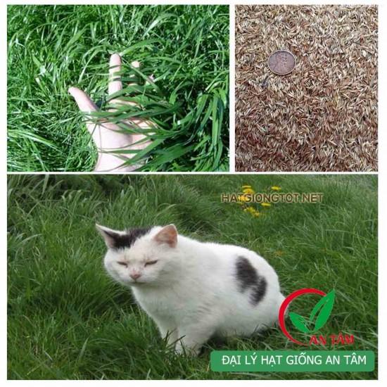 Hạt giống cỏ mèo
