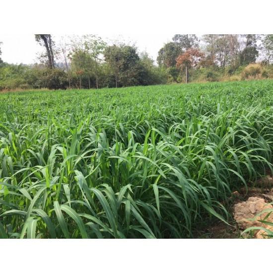 Hạt giống cỏ mombasa ghine