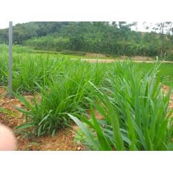 Hạt giống cỏ mulato 2