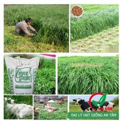 Hạt giống cỏ mulato chịu lạnh