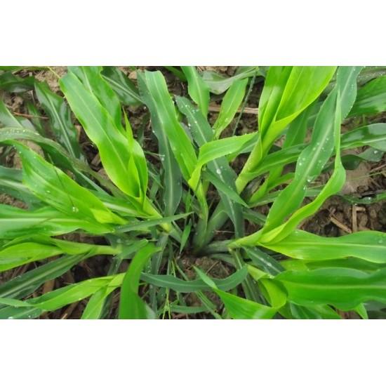 Hạt giống cỏ ngô Mexico năng suất siêu cao