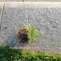 Hạt giống cỏ nhung nhật
