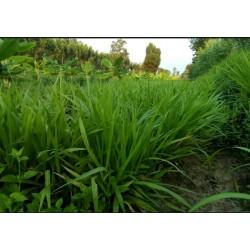 Hạt giống cỏ paspalum chịu ngập
