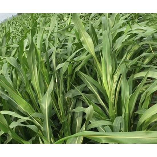 Hạt giống cỏ Sudan Super bmr