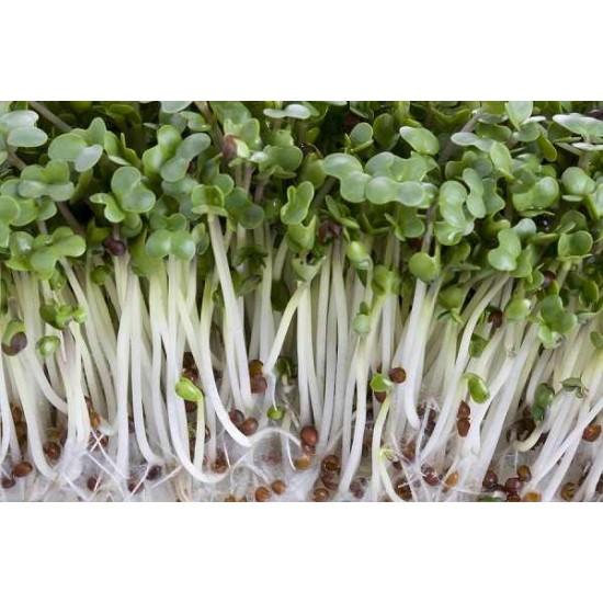 Hạt giống rau mầm củ cải trắng