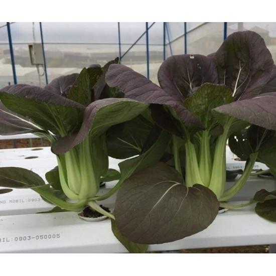 Hạt giống rau cải thìa tím f1