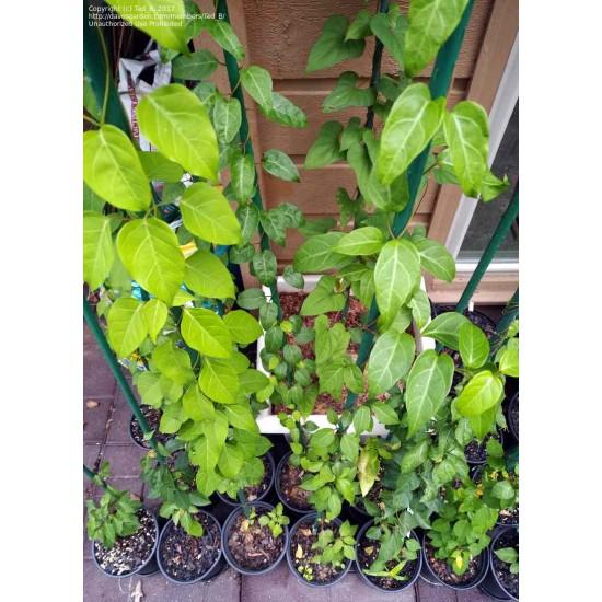 Bán hạt giống lá giang (cây lá lồm)