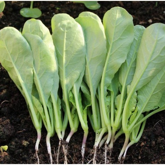 Hạt giống rau cải củ ăn lá(cải kẹp)