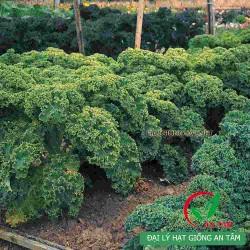 Hạt giống rau cải xoăn kale