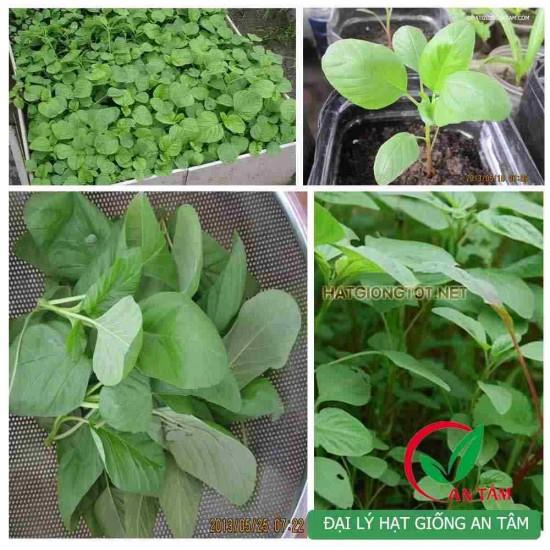 Hạt giống rau dền xanh lá tròn