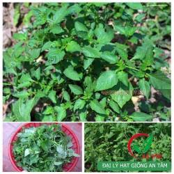 Hạt giống rau tầm bóp ăn lá