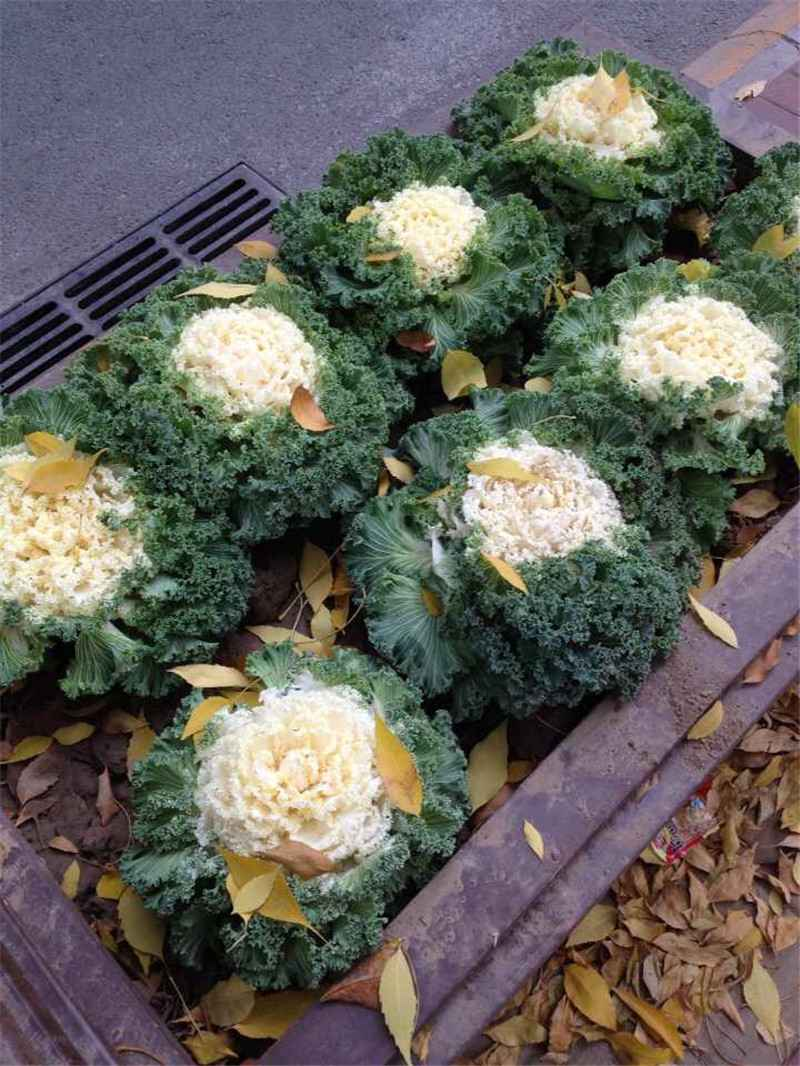 Hạt giống hoa bắp cải trắng