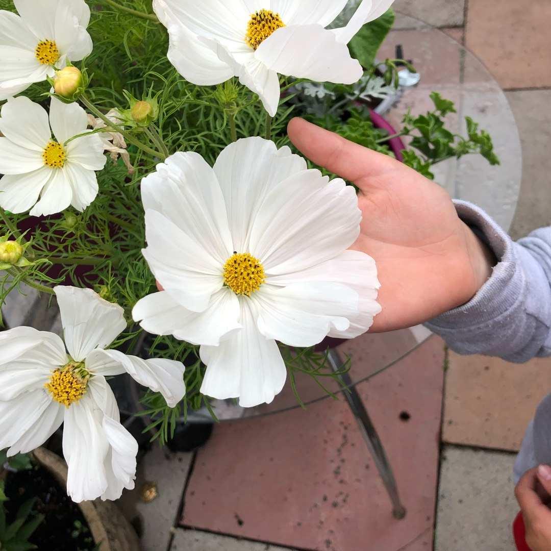Hạt giống hoa cánh bướm trắng
