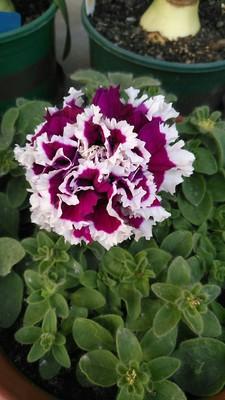 giá hạt giống hoa dạ yến thảo kép