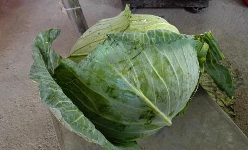 Hạt giống bắp cải chịu nhiệt