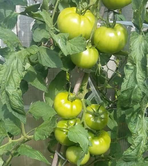 Năng suất cà chua beef cực cao