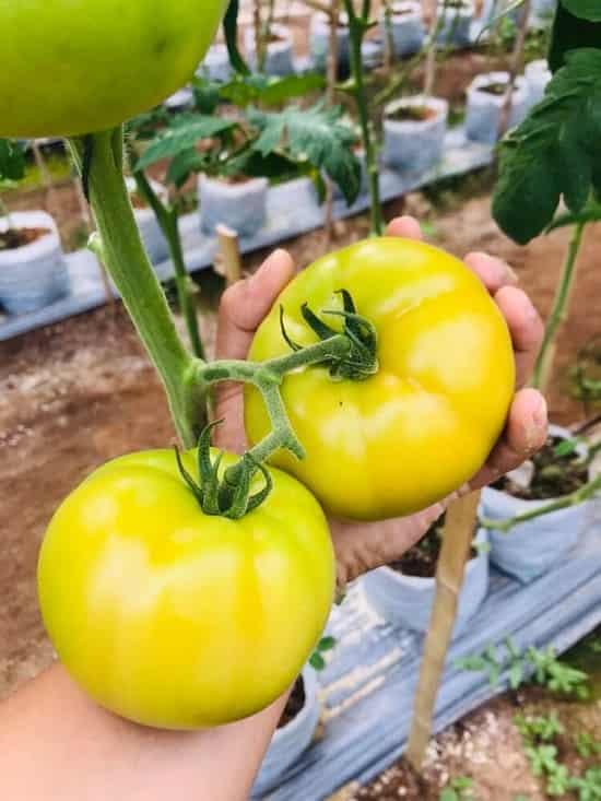Quả cà chua beef nặng trung bình 280gam - 350gam