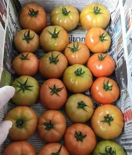 Giống cà chua beef tiêu thụ dễ