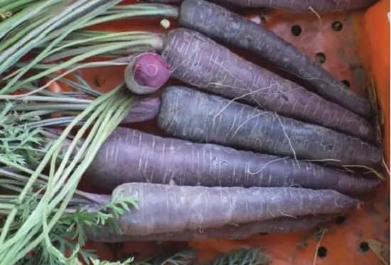 Hạt giống cà rốt tím