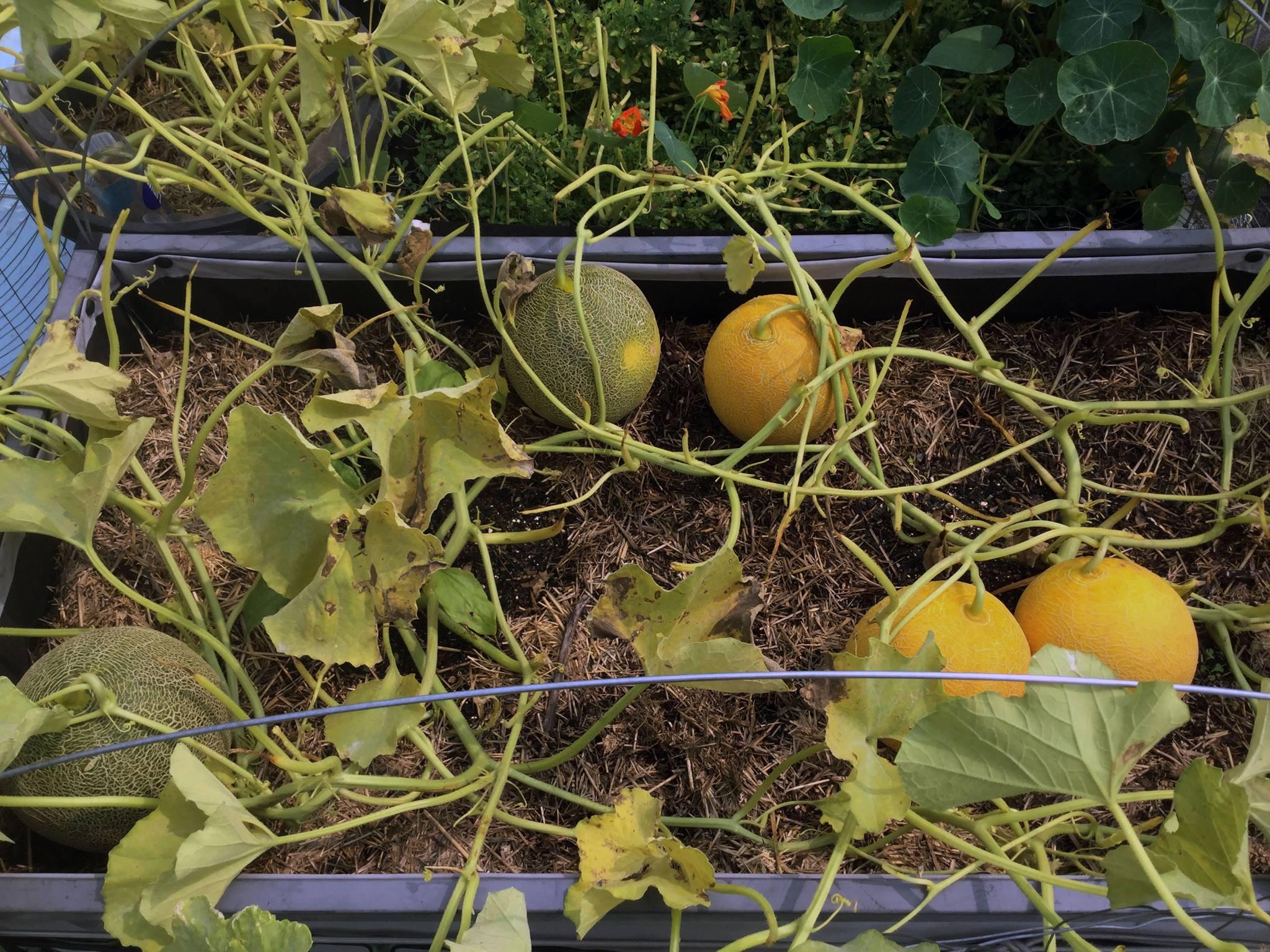 Dưa lưới vàng hà lan có thể trồng ngoài trời hay trong nhà mà