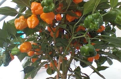 Cây ớt habanero có thể sử dụng làm cảnh cũng rất đẹp
