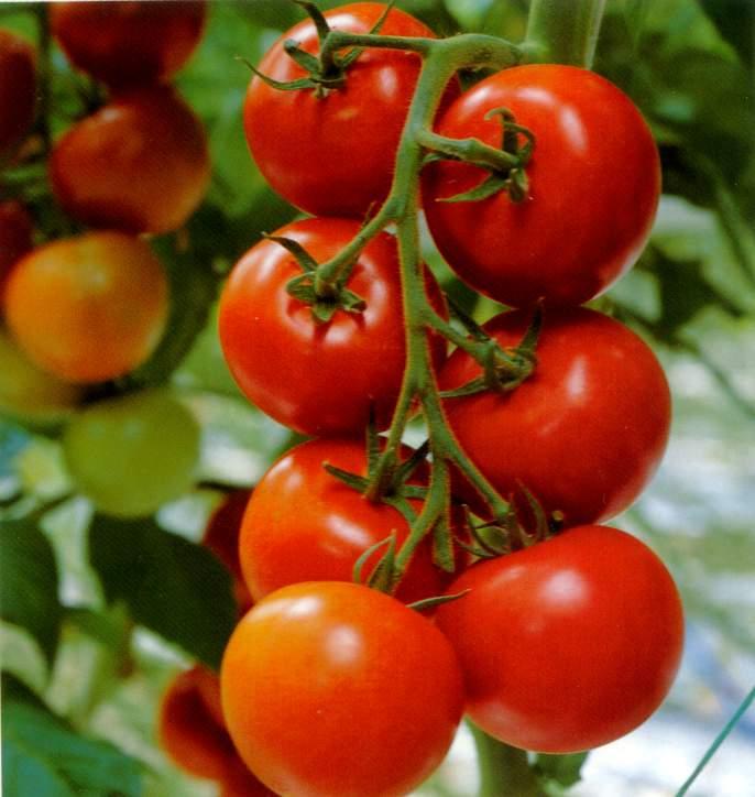 Cách trồng cà chua trong thùng xốp tại nhà