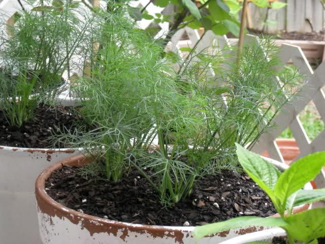 Kỹ thuật trồng rau thìa là trong thùng xốp