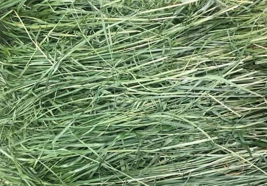 cỏ timothy khô