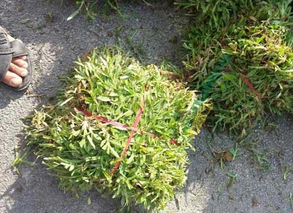 Giá hạt giống cỏ lá gừng