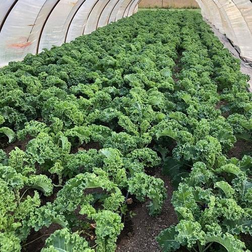 cải xoăn kale được trồng trong nhà màng